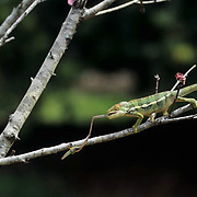 Chameleon (C. pardalis) feeding on an insect in Madagascar.