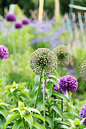Purple Allium giganteum flowers in a garden (vertical). WATERMARKS WILL NOT APPEAR ON PRINTS OR LICENSED IMAGES.