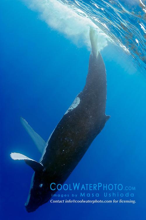humpback whale, Megaptera novaeangliae, slapping tail at surface or lobtailing, Hawaii, USA, Pacific Ocean