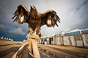 Hunting eagle in Karakorum