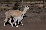 Alpacas (Vicugna pacos) mother & baby<br /> Pulingue San Pablo community<br /> Chimborazo Province<br /> Andes<br /> ECUADOR, South America