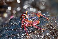 Portrait of Sally Lightfoot Crab (Grapsus grapsus) in the Galapagos Islands, Ecuador.