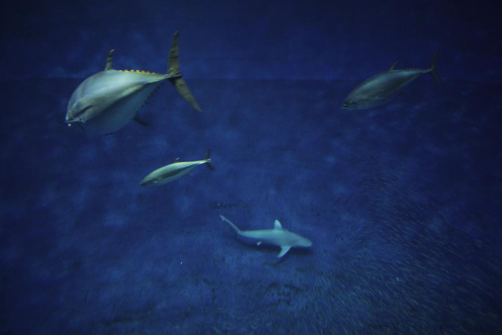 Tuna swim in Monterey, California.