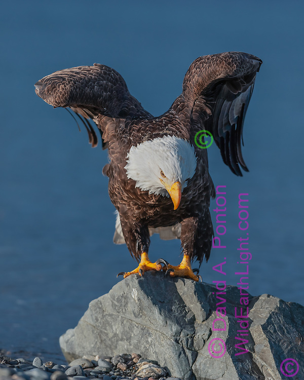 Bald eagle perched on rock at ocean shore, raising wings as it changes position, Alaska, © David A. Ponton
