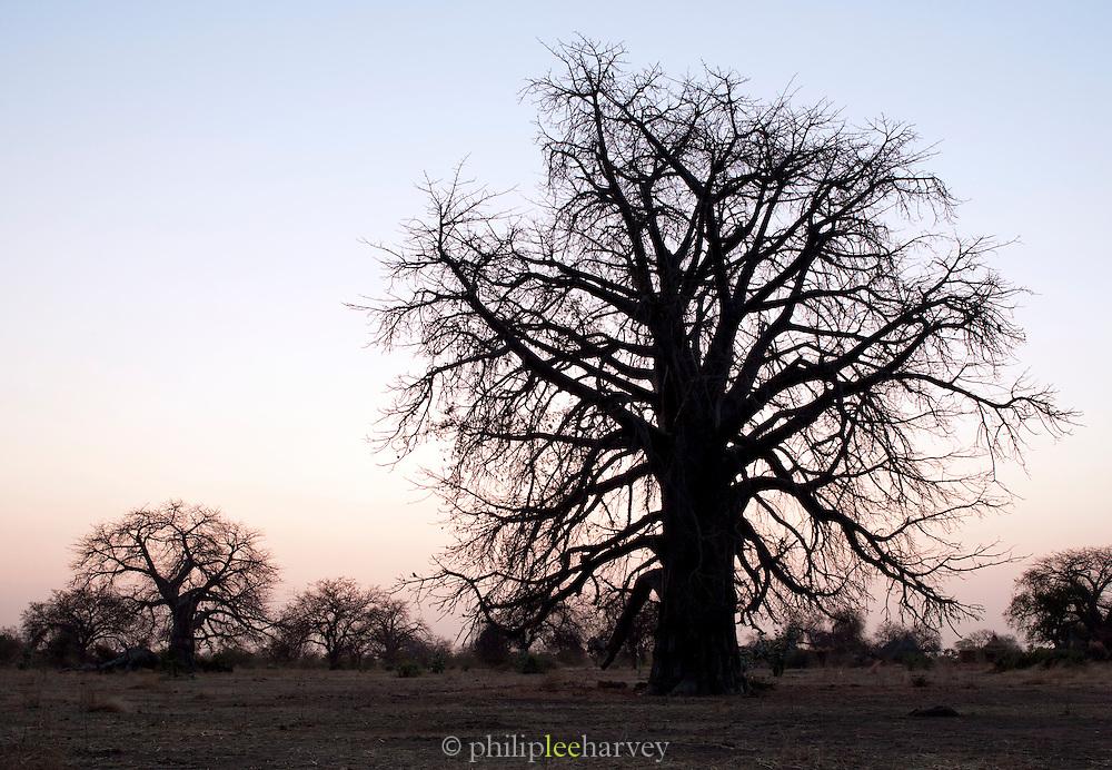 The silhouette of a large Baobab tree, near the village of Nyaro, Kordofan region, Sudan