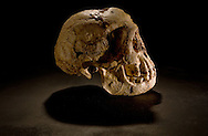 The LB1 skull,, part of the type specimen for Homo floresiensis (aka the Flores hobbit) and one of the more controversial fossils of all time. The tiny skull found in association with a plethora of stone tools has forced researchers to rethink assumptions about brain size and intelligence, Hobbit brains were only 400cc -- one-third to tw-fifths the size of own own.