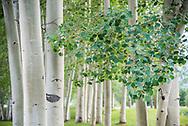 Aspen trees in summer in Aspen, Colorado.