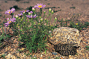 Halys Viper (Gloydius halys)<br /> Gobi Desert<br /> Mongolia