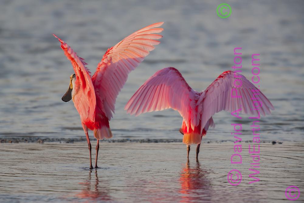 Roseate spoonbills seem to show off their luminous pink wings, © David A. Ponton