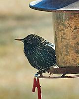 European Starling (Sturnus vulgaris). Image taken with a Nikon D850 camera and 200-500 mm f/5.6 VR lens.