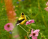 Goldfinch. Image taken with a Nikon D4 camera and 80-400 mm VR lens.