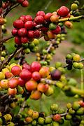 Abre Campo_MG, Brasil...Rota Imperial.  Na foto detalhe do graos de cafe no galho do cafeeiro em Abre Campo, Minas Gerais...The Royal-Imperial Route. In this photo detail of coffee beans on a plant in Abre Campo, Minas Gerais...Foto: BRUNO MAGALHAES / NITRO