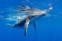 A Humpback Whale calf, Megaptera novaeangliae, surfaces to breathe.  Moorea, French Polynesia, Pacific Ocean