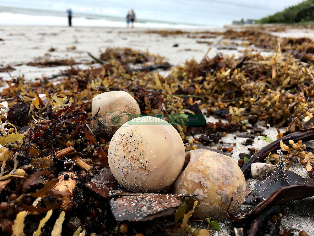 October 7, 2016 - Florida, U.S. - Turtle eggs are mixed with seaweed along the beach in Jupiter south of Carlin Park Friday. (Credit Image: © Richard Graulich/The Palm Beach Post via ZUMA Wire)