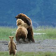Alaska brown bear (Ursus middendorffi) mother fighting a male bear, with her two cubs nearby. Alaska Peninsula, Alaska