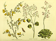 Saxifraga [Mountain Saicle], Saxifraga [London Pride] Genista [Triangular Genista or Broom] from Vol II of the book The universal herbal : or botanical, medical and agricultural dictionary : containing an account of all known plants in the world, arranged according to the Linnean system. Specifying the uses to which they are or may be applied By Thomas Green,  Published in 1816 by Nuttall, Fisher & Co. in Liverpool and Printed at the Caxton Press by H. Fisher