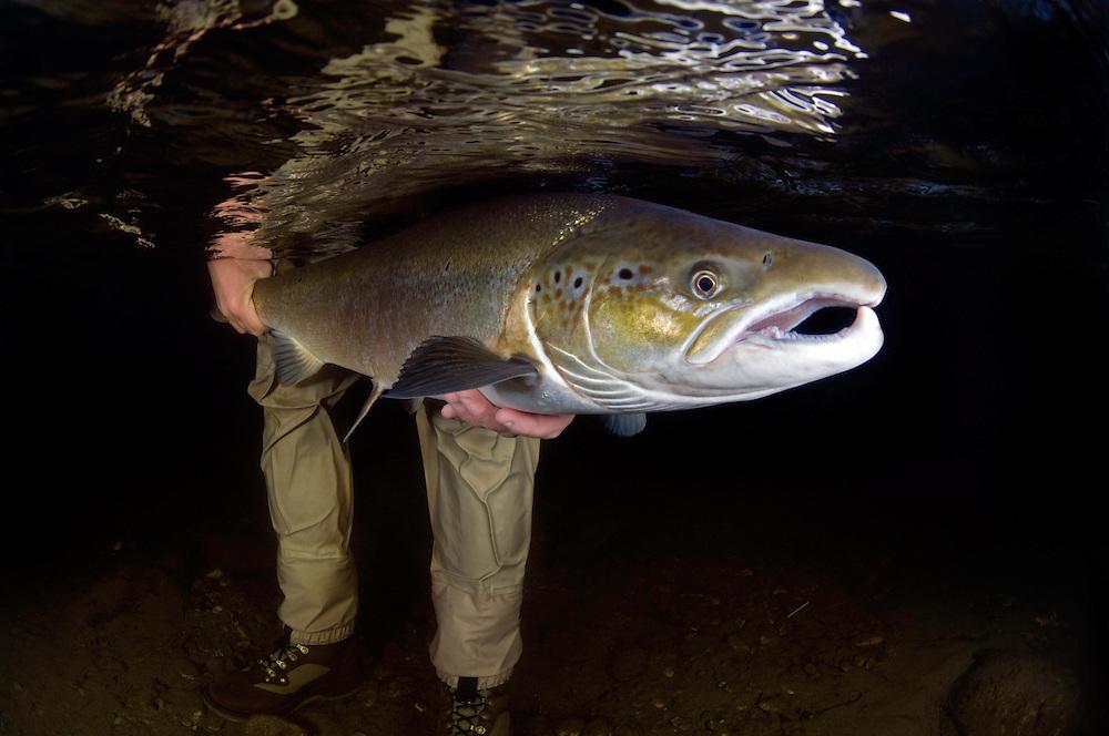 Atlantic Salmon, Salmo salar<br /> Flyfishing<br /> Modelname: Krister Hoel. Model release form valid by the photographer.<br /> River Orkla, Rennebu, Norway. Photographed at catch/release fishing.