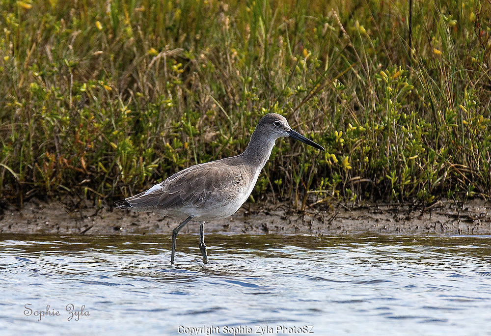 Willet on the Prowl
