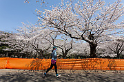 A jogger runs past measures to avoid people gathering for Hanami parties under the cherry blossoms in Yoyogi Park, Shibuya, Tokyo, Japan. Friday March 26th 2021, Though Tokyo lifted its Coronavirus State of  Emergency at midnight on March 21st the annual Hanami , cherry blossom parties and other gatherings of large number of people are still limited and discouraged.