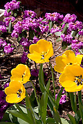 A lovely garden with yellow and purple flowers.  St Paul Minnesota USA