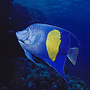 An adult 14-inch Queen Angelfish (Pomacanthus maculosus) glides along Shark Reef at a depth of 50 feet in the Red Sea, Sinai, Egypt.