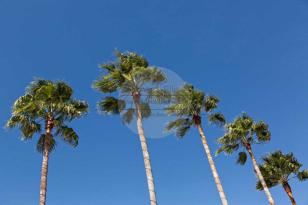 Palmetto palm trees at Main Street Disney World in Lake Buena Vista, Florida.