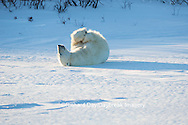 01874-13518 Polar Bear (Ursus maritimus) lying on back, Churchill Wildlife Management Area, Churchill, MB