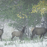 Elk cow and calves feeding on aspen leaves during a snowstorm in Wyoming.