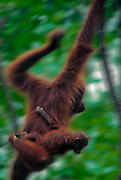 """Female oragutan and weeks old youngster Borneo rain forest.Sepilok Orangutan Sanctuary, Borneo, Malaysia. Highly endangered due to destruction of rainforest habitat.  Name derived from """"orang"""" and """"hutan"""", literaly """"man of the forest"""""""