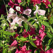 Bouganvilea flowers in Cabo Real Golf course. Cabo San Lucas, BCS.Mexico