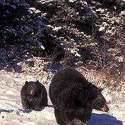 Black Bear, (Ursus americanus) Montana. Adult and cub in winter. Captive Animal.