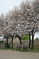 Park bench unset tree in blossom in Dublin Ireland