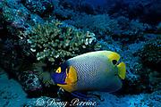 yellowmask or blueface angelfish, Pomacanthus xanthometopon, Layang Layang Atoll, Malaysia ( South China Sea )