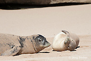 Hawaiian monk seals, Monachus schauinslandi, Critically Endangered endemic species, adult (left) and juvenile (right) on beach at west end of Molokai, Hawaii ( Central Pacific Ocean )