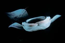 reef manta rays, feeding on plankton at night, Mobula alfredi, Kona, Big Island, Hawaii, Pacific Ocean