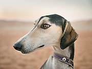 Portrait of a saluki dog. In 1996, The Guinness Book of Records listed a Saluki as the fastest dog in the world, capable of reaching a speed of 68.8 kilometres or 42.8 miles an hour per hour. Due to its heavily padded feet being able to absorb the impact on its body, the Saluki has remarkable stamina when running. Historically, Salukis were used for hunting by nomadic tribes.