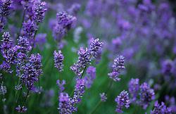 Lavender. Lavandula angustifolia syn. L. officinalis