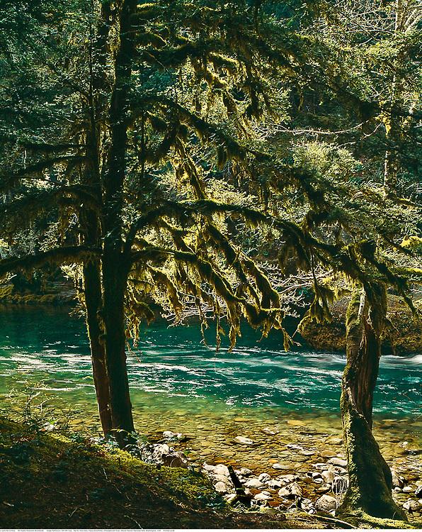 Western yew trees, Ohanapecosh River, Mount Rainier National Park, Washington, USA