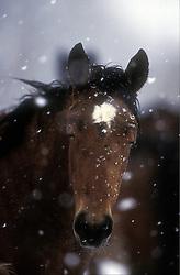 Veulen in sneeuw<br /> Photo © Dirk Caremans