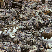 Rock Ptarmigan (Lagopus mutus) camouflaged against the rock slide area where they are feeding during the fall season.