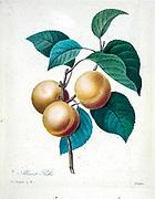 19th-century hand painted Engraving illustration of apricots on a branch, by Pierre-Joseph Redoute. Published in Choix Des Plus Belles Fleurs, Paris (1827). by Redouté, Pierre Joseph, 1759-1840.; Chapuis, Jean Baptiste.; Ernest Panckoucke.; Langois, Dr.; Bessin, R.; Victor, fl. ca. 1820-1850.