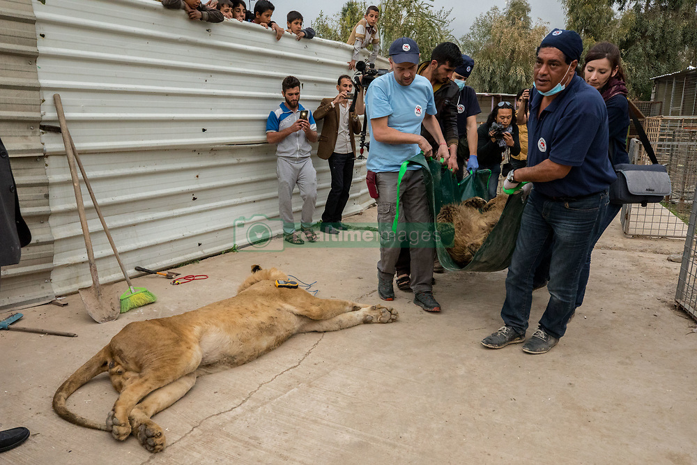 March 30, 2017 - Mosul, Nineveh Province, Iraq - Members of Four Paws International transfer LULA from the Mosul Zoo during the evacuation. A lion and a bear, just rescued from Mosul's zoo, are prepared to fly to safety outside Iraq and into Erbil, Kurdistan. The two animals nearly starved to death in their cages while battle raged around them in the Iraqi city earlier this year. Several other animals at the zoo died from neglect but these two were finally rescued by the animal charity Four Paws. (Credit Image: © Gabriel Romero via ZUMA Wire)