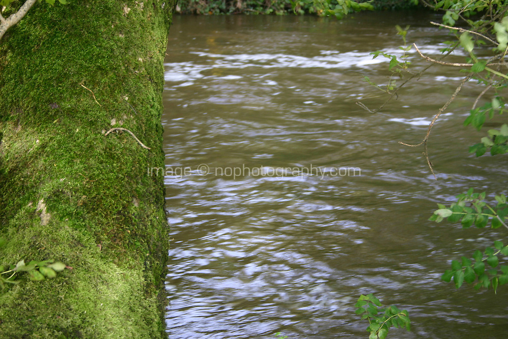 Tree covered in moss beside river, Kilkenny, Ireland