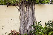 A banyan tree consumes a wall in Nassau , Bahamas.