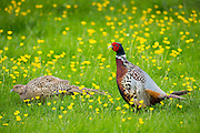 Cock and hen pheasants, Phasianus colchicus,  in a field of buttercups, UK