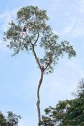 Family of Proboscis Monkeys (Nasalis larvatus) in a tree by Kinabatangan River, Sabah