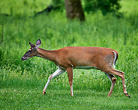 Doe in My Backyard. Image taken with a Nikon D4 camera and 600 mm f/4 VR lens