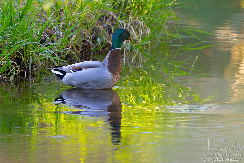 A mallard duck (Anas platyrhynchos) drake stands on alert at the edge of Juanita Creek in Kirkland, Washington.