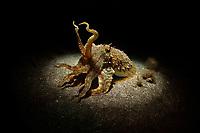 09/Mayo/2019 Islas Canarias. El Hierro.<br /> Sepia durante una inmersión nocturna en el puerto de La Restinga con Buceo La Restinga.<br /> <br /> ©JOAN COSTA