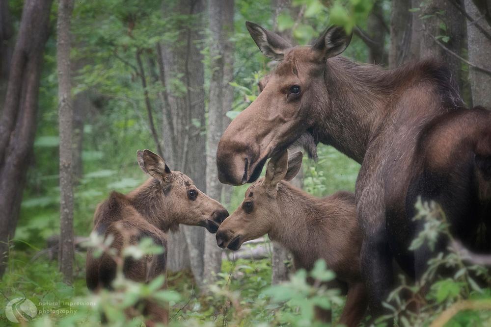 Mother Moose and twins, Alaska